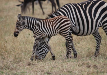 Wildlife Conservation Suffers Due to COVID-19 | African Wildlife Safaris
